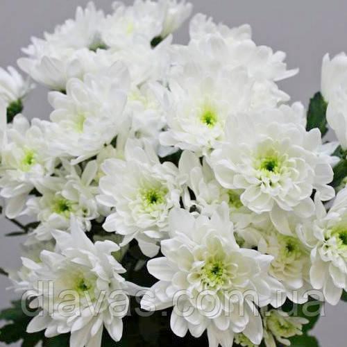 Хризантема веточная срезочная БАЛТИКА белая