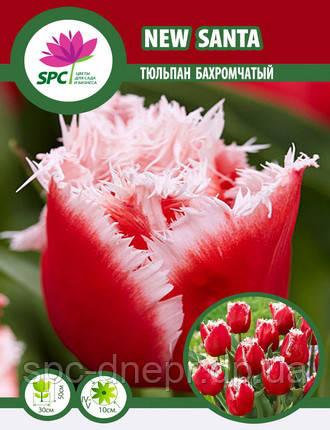 Тюльпан New Santa, фото 2