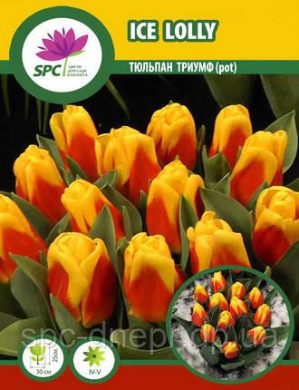 Тюльпан Ice Lolly (pot), фото 2
