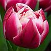 Тюльпан 3 шт Columbus  Нідерланди розмір 12+