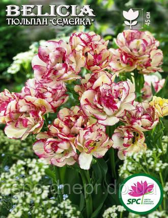 Тюльпан Belicia, фото 2