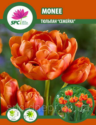 Тюльпан Monee