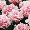 Тюльпан 3 шт Queensland   Нідерланди розмір 12+
