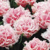 Тюльпан 3 шт Queensland   Нідерланди розмір 12+, фото 1
