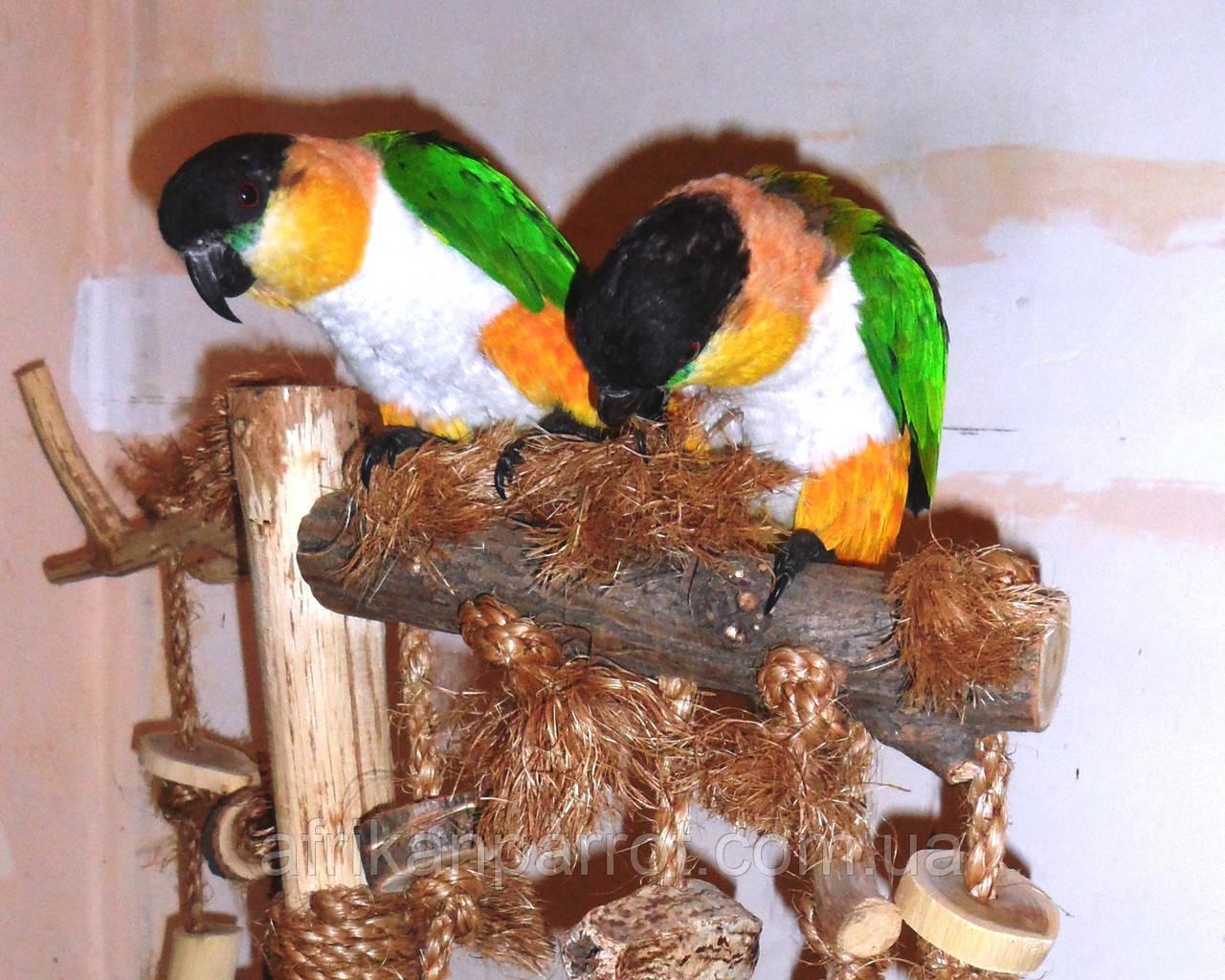 Черноголовый белобрюхий попугай (Каик) Pionites melanocephala