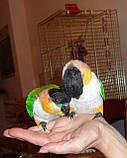 Черноголовый белобрюхий попугай (Каик) Pionites melanocephala, фото 6