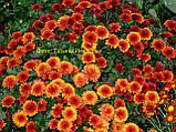 Хризантема мультифлора Маскулино оранж, фото 3