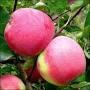 Саженцы яблони Слава Победе(осень)