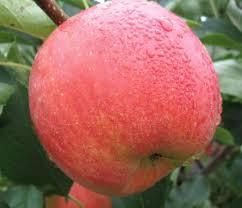 Саженцы яблони Чемпион (Зима)