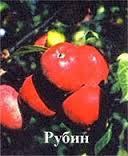 Саджанці яблуні Рубін(Зима)
