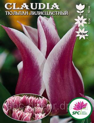 Тюльпан лилиецветный Claudia