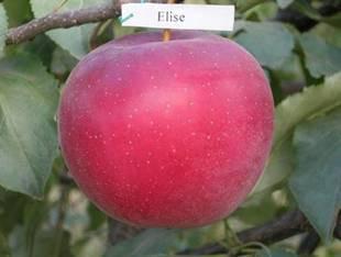 Саджанці яблуні Єлиза(Зима)