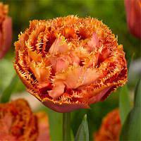 Тюльпан 3 шт Sensual touch  Нідерланди розмір 12+, фото 1