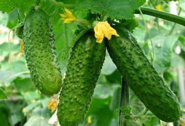 Шпалерная сетка для выращивания огурцов