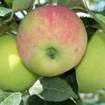 Саджанці яблуні Гарант(Зима)