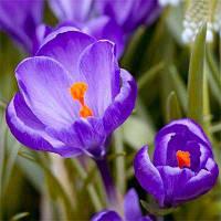 КРОКУС Flower Record Нідерланди розмір 10+ (5 шт в упаковці)