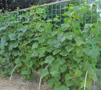 Огурцы на сетке в открытом грунте, фото