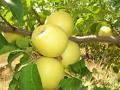 Саженцы яблони Голден Делишес(Зима)