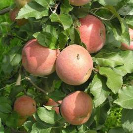 Саженцы яблони Фуджи (Зима)