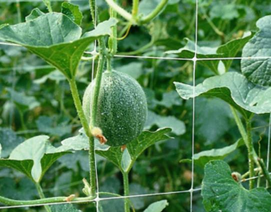 выращивание огурцов на сетке, фото