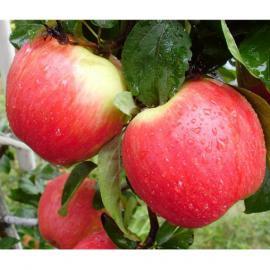 Саженцы яблони Женева Ерли (Лето)