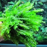 Мох Камерун / Cameroon moss (Plagiochilaceae sp. Cameroon), порция 20 веточек.