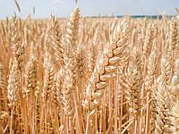 Семена озимой пшеницы Балатон (Австрия) высокоурожайный хлебопекарский сорт сертификат на семена