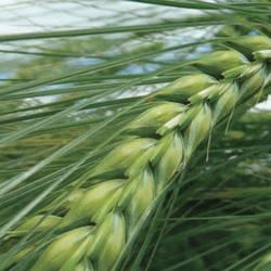 Семена озимого ячменя Наоми сертификат на семена