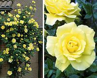 Роза плетистая Golden Showers