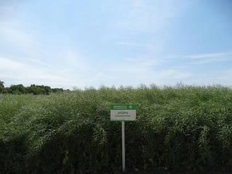 Семена озимого рапса Атора сертификат на семена