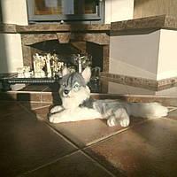Іграшка собака Хаскі валяння з вовни., фото 1