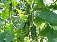 Выращивание огурцовых культур в теплице