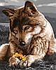 """Картина по номерам """"Волчица"""""""