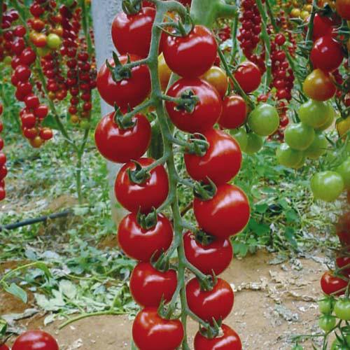 почва для томата