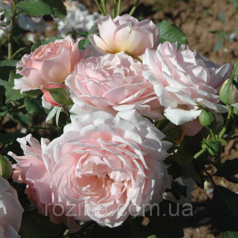 Роза Луи Марильяк