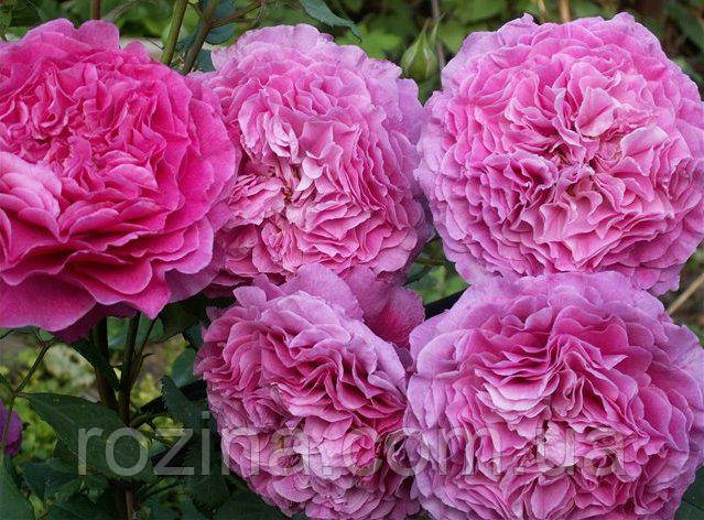 """Саженцы розы """"Вентило"""""""