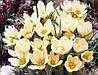 Крокус ботанический Cream Beauty, фото 2