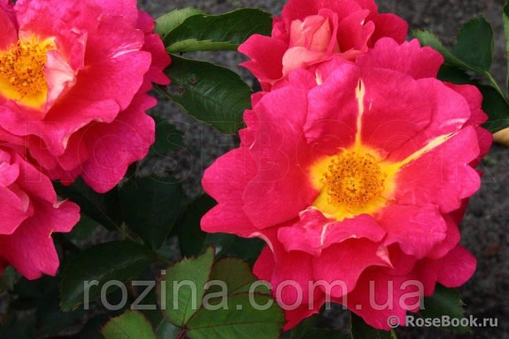 Роза  Баяццо