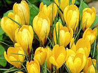 Крокус крупноцветковый Yellow Giant(5 шт.)