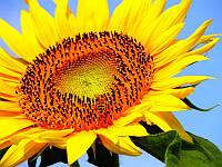 Семена подсолнечника  АРМАГЕДОН (Економ) толерантний до євро-лайтінгу