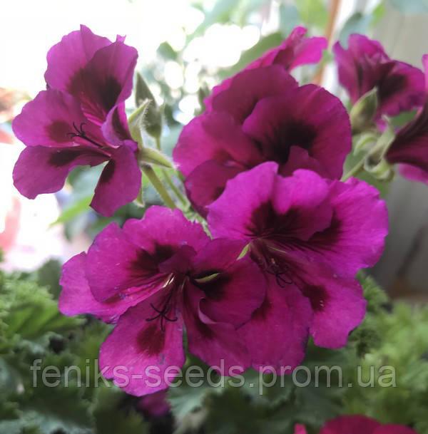 Пеларгония №5 молодое растение