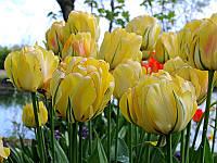Тюльпан Akebono