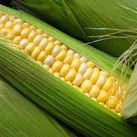 Семена кукурузы НС - 3033