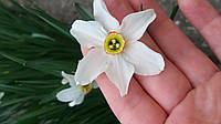 Нарцисс 1 луковица. Садовое луковичное растение