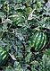 Семена арбуза Топ Ган F1 1000 семян Syngenta, фото 2
