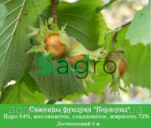 Саженцы фундука Керасунд Круглый, фото 2
