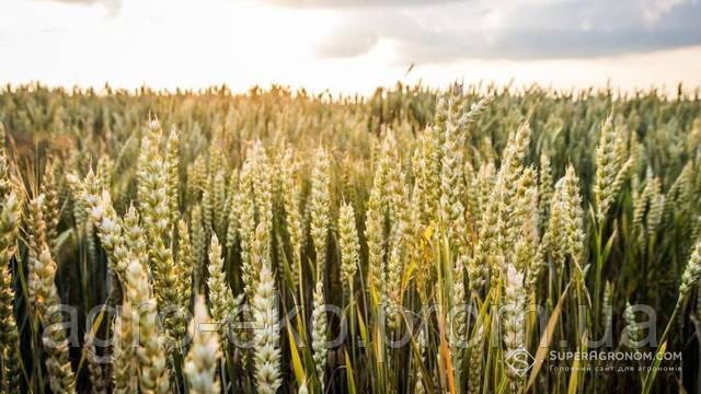 Зміни клімату викликають потребу в застосуванні регуляторів росту рослин