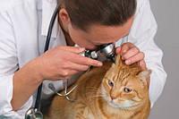 Отити у кішок прояв хвороби і терапія
