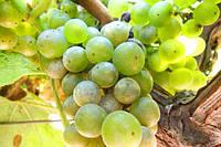 Болезни винограда: как получить здоровый урожай