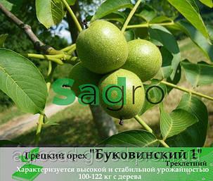 Грецкий орех БУКОВИНСКИЙ 1 трехлетний, фото 2